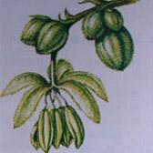 mannelijke wietplant 2